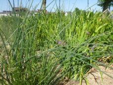 Mischbepflanzung auf einer Pflanzenkläranlage