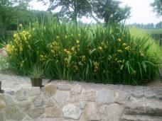 PKA ELSA mit Iris - Randbepflanzung