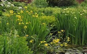 Sumpfschwertlilie gelb